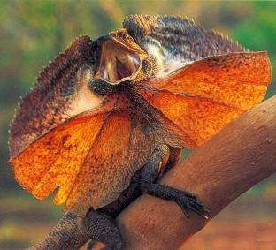 the frilled lizard or frilled dragon from Australia and ...
