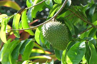 benefits of soursop leaf to fever
