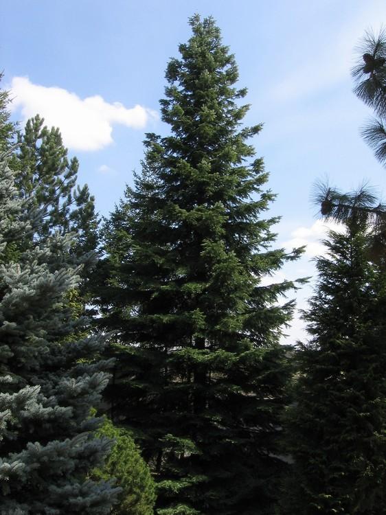 Trees Planet Abies Grandis Grand Fir