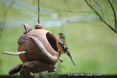 Pinzón (Fringilla coelebs)