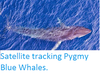 https://sciencythoughts.blogspot.com/2014/04/satellite-tracking-pygmy-blue-whales.html