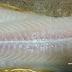 Masak Apa Sedap Untuk Ikan Dori