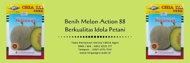benih melon action 88,melon action 88,benih melon,budidaya melon,buah melon,bibit melon,cap kapal terbang,lmga agro