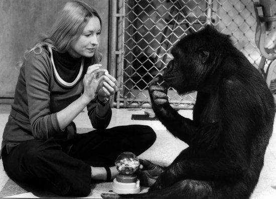 Sapere audeo: Koko, il gorilla che parla con gli umani