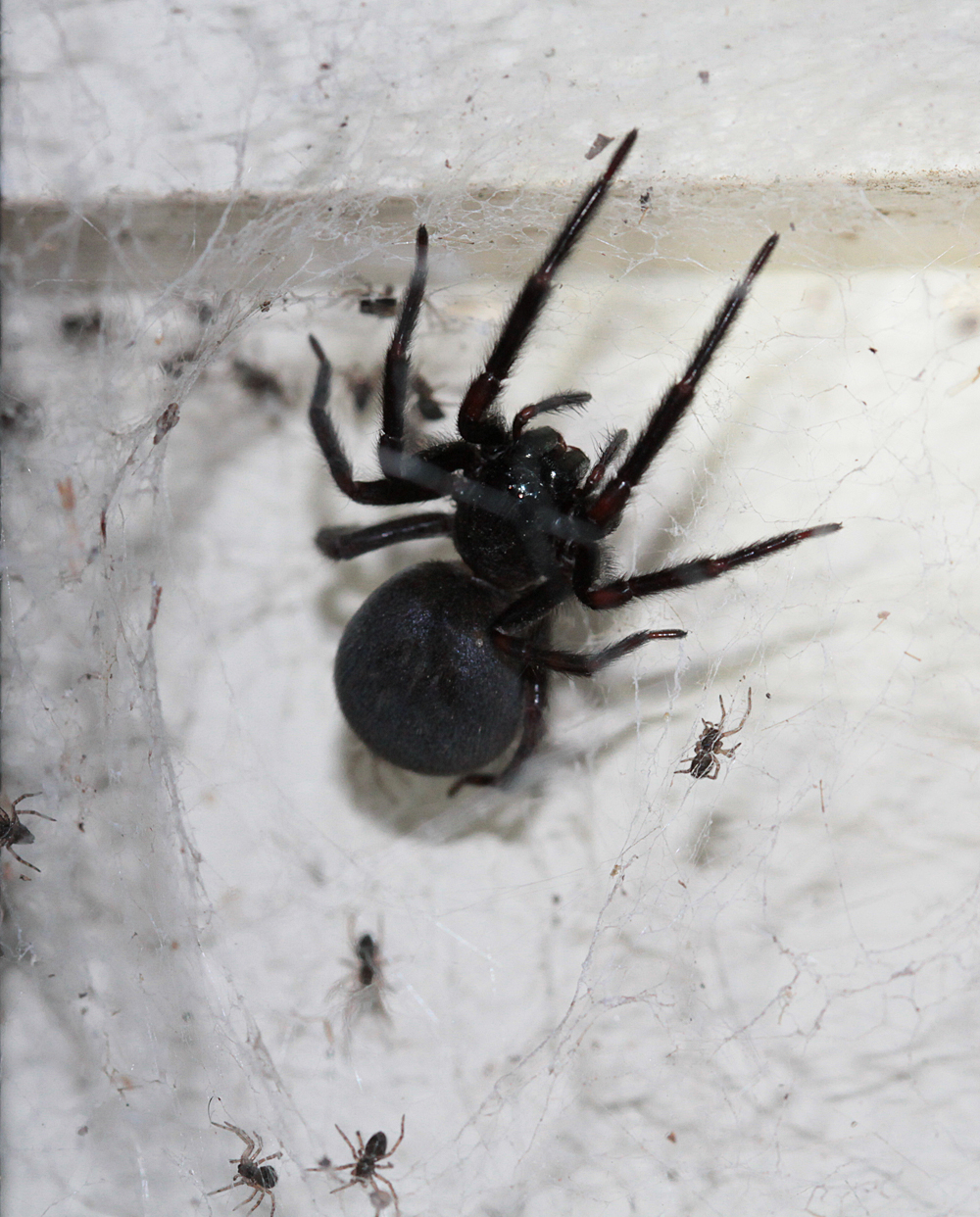 The spiderblogger i always love the black house spiders for How can i stop spiders from coming in my house