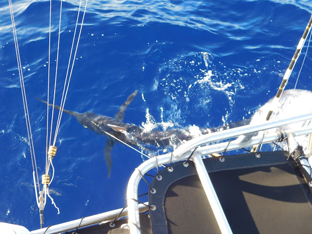 200 pound Pacific Blue Marlin