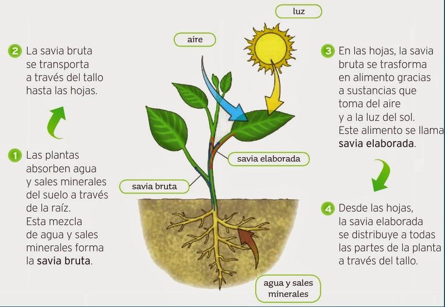 Las plantas en el proceso de la fotosintesis 28