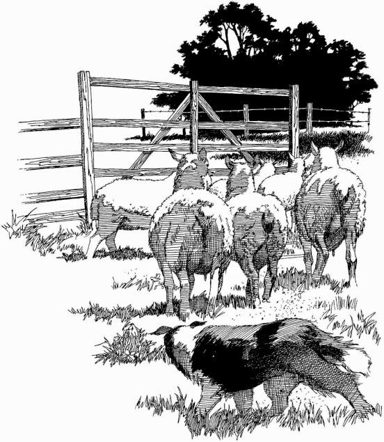 Sheep and sheepdog