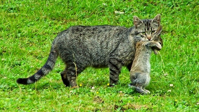 tularemia in cats