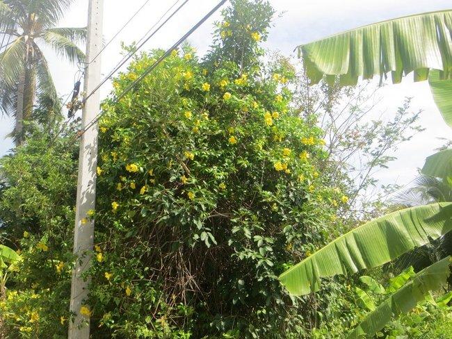 желтые цветы на кусте