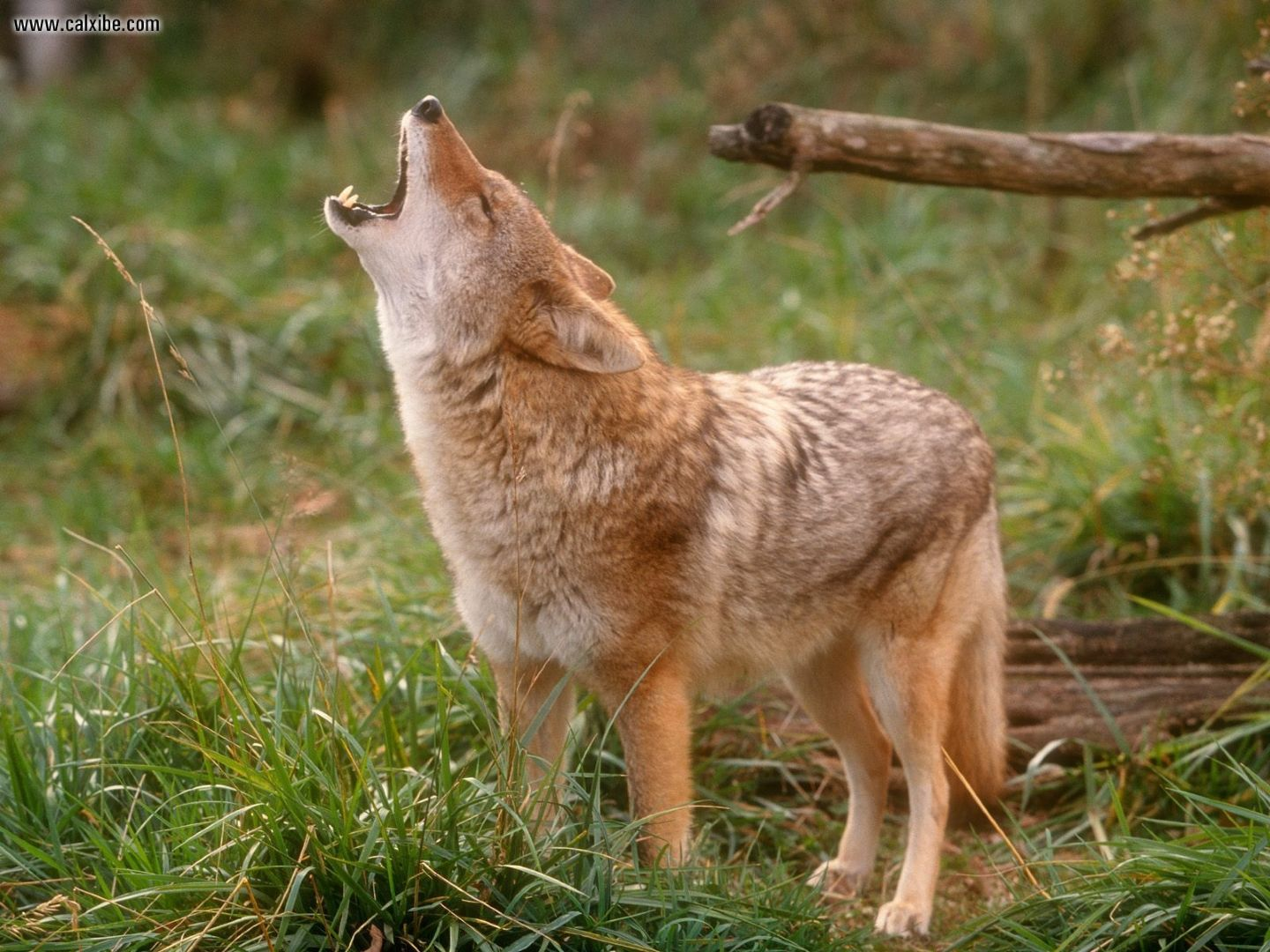 Coyote | Wildlife Info-Photos | The Wildlife