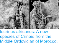 http://sciencythoughts.blogspot.co.uk/2015/12/iocrinus-africanus-new-species-of.html