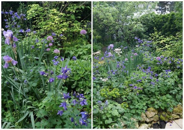 Beet mit Iris, Allium und Akelei