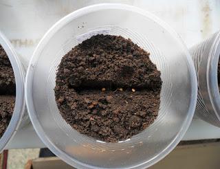 Посев баклажанов