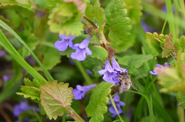 Anthophora plumipes mâle ( abeille sauvage) sur fleur de Gléchome lierre terrestre (Glechoma hederacea)