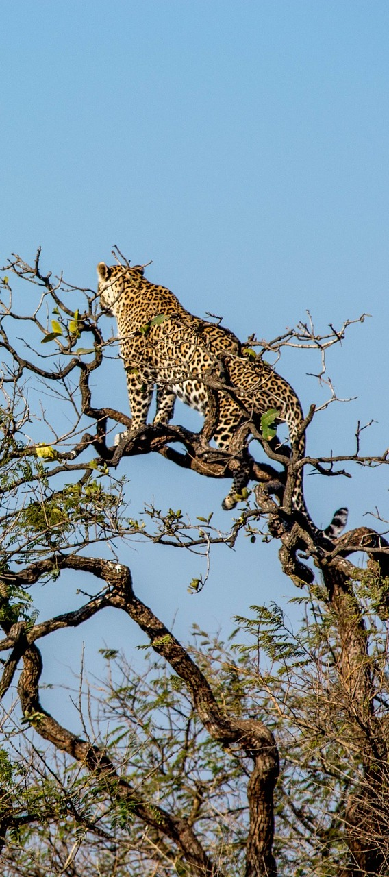 Leopard on top of a tree.