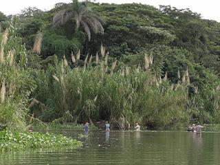 Kuba, La Arboleda, Rio Canimar, am Ufer wächst viele Meter hohes Schilf, davor stehen fünf Fischer bis zur Hüfte im Wasser.