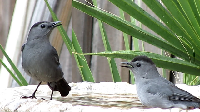 Gray Catbirds Vacationing in Florida for Winter!