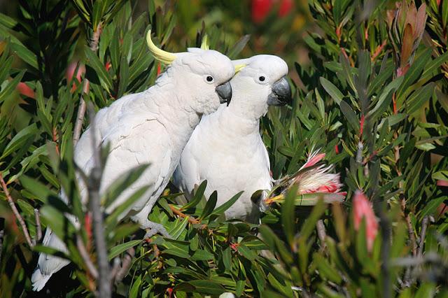 Beautiful Cockatoo Facts & Info 7