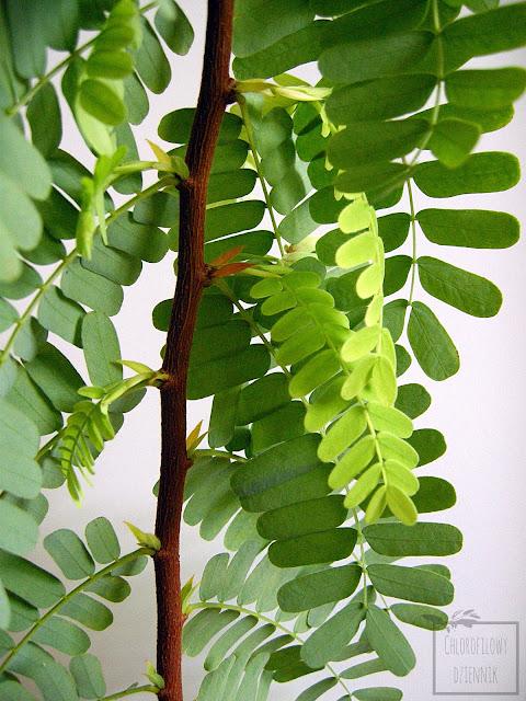 Roczny tamaryndowiec indyjski (Tamarindus indica) z nasiona