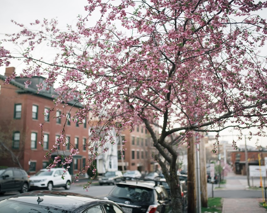 Portland, Maine USA May 2018 photo by Corey Templeton. The early May cherry blossoms along Danforth Street.