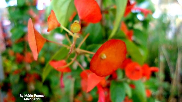 Flowers  Holmskioldia sanguinea