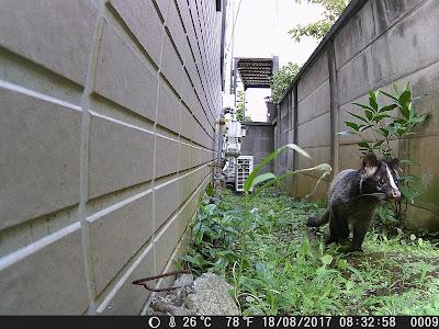 「トレイルカメラによる静止画撮影画像 ハクビシン 日中」の写真