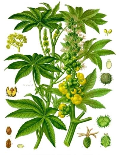 Plant de ricin