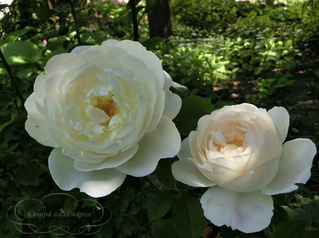 Роза Desdemona, розы, розарии, сад и розы