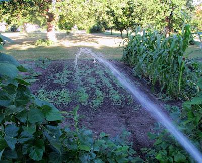 Morning watering of the vegetable garden-Mustard greens