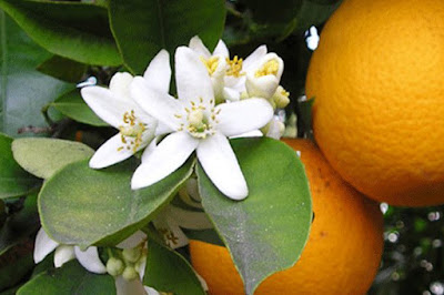 Orange blossoms on tree