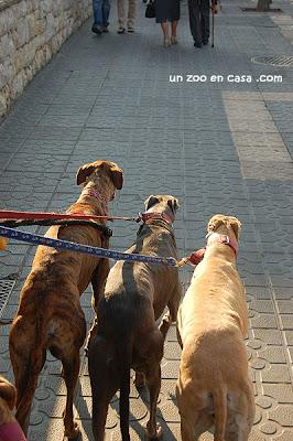 Galgos paseando por la ciudad