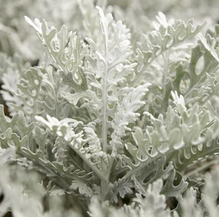 Cineraria maritima Seeds - Silver Dust