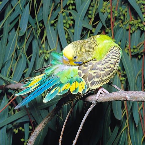 Exotic Birds: Totul despre Perusi