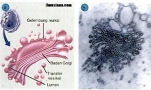 Pengertian Badan Golgi