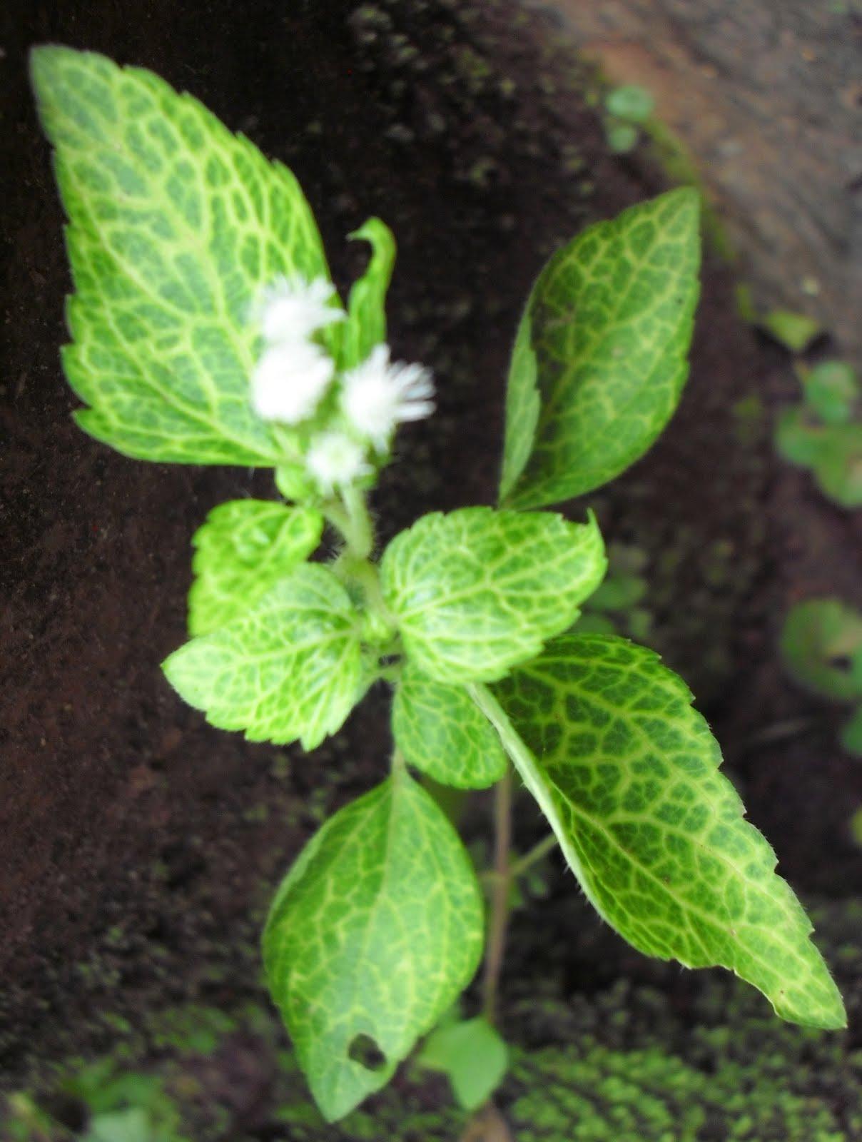 Medicinal Plants and Their Malayalam Names – Mohamed Iqbal