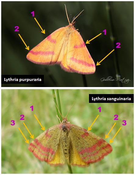 Diferencias visuales entre Lythria purpuraria y Lythria sanguinaria