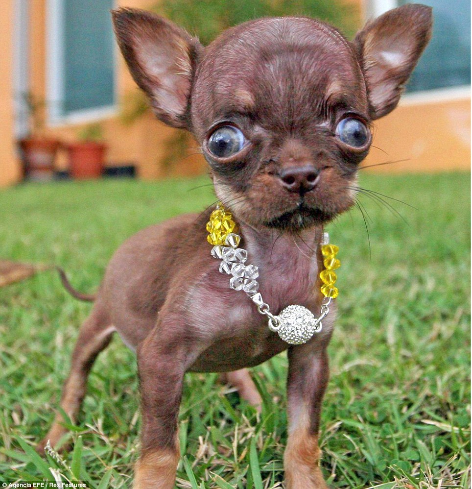 World's 5 Fattest, Strongest, Smallest, Biggest Dogs | TMR ... |The Most Smallest Dog In The World
