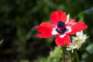bunga anemone