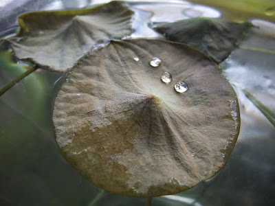 brown lotus leaf, lillypad, humidity, grow indoors