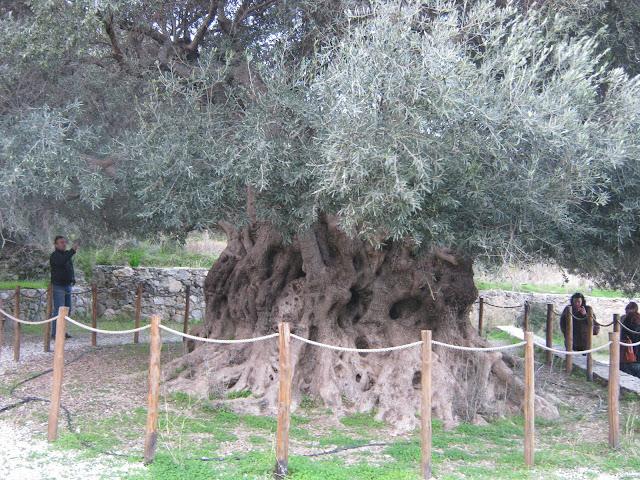 Η πιο παλιά ελιά στον κόσμο βρίσκεται στην Κρήτη