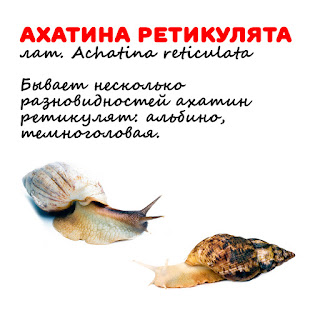 Ахатина фото