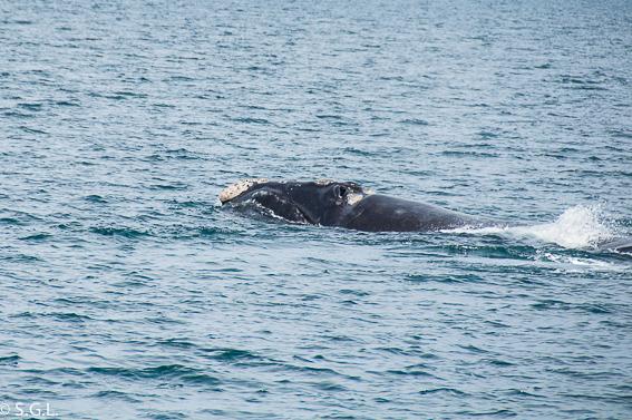 Ballena Franca Austral  en Puerto Madryn. Avistaje de ballenas en Argentina