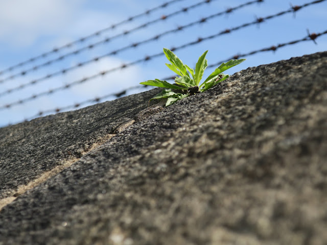 Green leaves of plants on concrete wall below barbed wire.