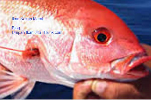 Unduh 700+ Gambar Jenis Ikan Kakap HD Terbaik