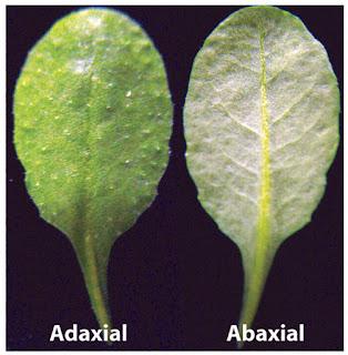 adaksial dan abaksial daun