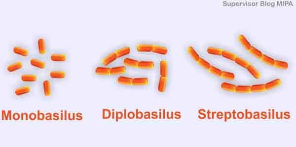 pengelompokkan jenis Klasifikasi Bakteri Berdasarkan bentuk sel basil