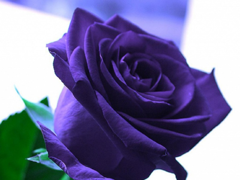 wallpapers of purple roses - photo #34