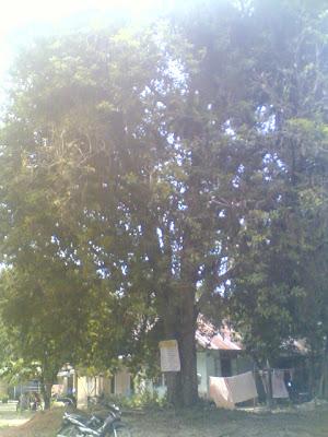 Pohon Sawo Berusia 120 Tahun: Siap Menjadi Aset Kalbar Menuju Rekor Dunia (World Record)