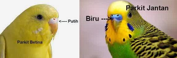 Dunia Satwa Piak Tips Cara Budidaya Burung Parkit Terbaru Dan Terlengkap